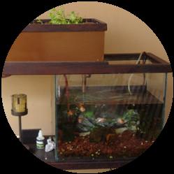 Aquaponics indoors using a fish tank