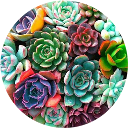 Pastel Succulents in a container