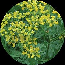 Rue Herb plant