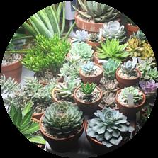 Succulents in clay pots indoors