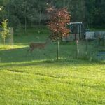 Deer checking out my garden 2020