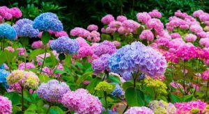 Purple, blue and pink Hydrangea flowers (Hydrangea macrophylla) in a garden
