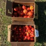 tomatoes harvested from garden 2020