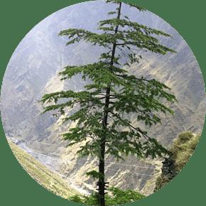 Deodar Cedar - Planting Cedar Trees