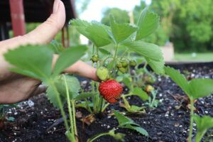 Strawberry from my patch